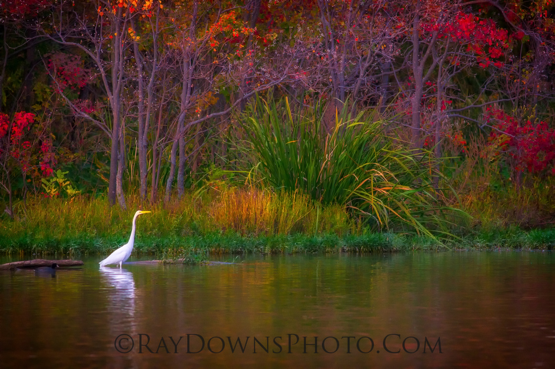 Egret shopping for groceries - Whiterock Lake Dallas, Texas