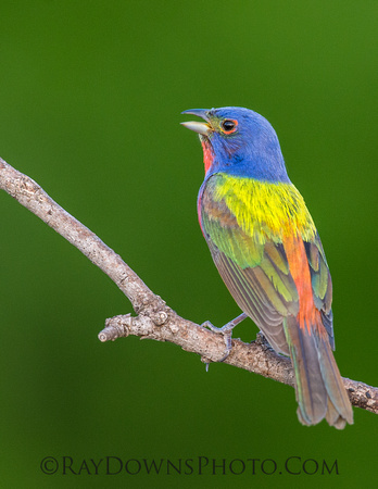 Painted Bunting Male Singing