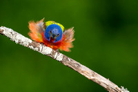 Painted Bunting Male feathers out