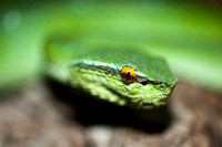 Close-up portrait of a green snake (temple pit viper or Tropidolaemus subannulatus)