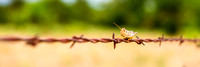 Grasshopper on Barbed wire TX