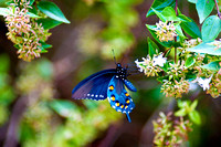 Butterfly Black Swallowtail - Pipevine Swallowtail