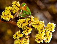Olive Hairstreak Male