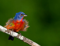 Painted Bunting Display
