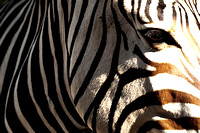 Zebra Stripes 31