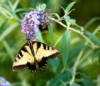Yellow_Zebra_Butterfly