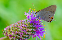 Grey Hair Streak on Purple Prairie Clover