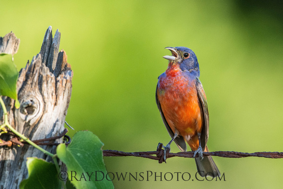 Painted Bunting - Male Singing on Barbedwire