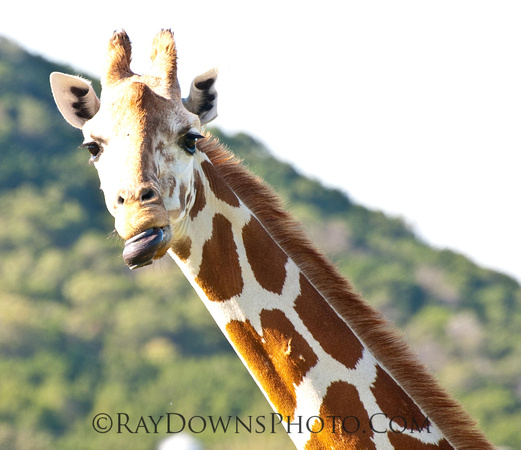 Giraffe Tongue Twister