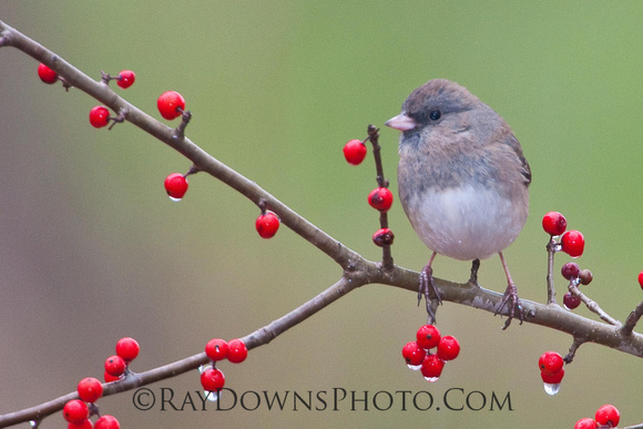 Dark eyed Junco-Junco hyemalis