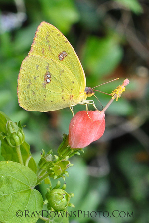 Yellow Butterfly, Yellow Sulpher on Turks Cap