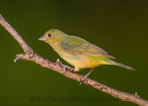 Painted Bunting Female