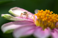 Jumping spider on flower